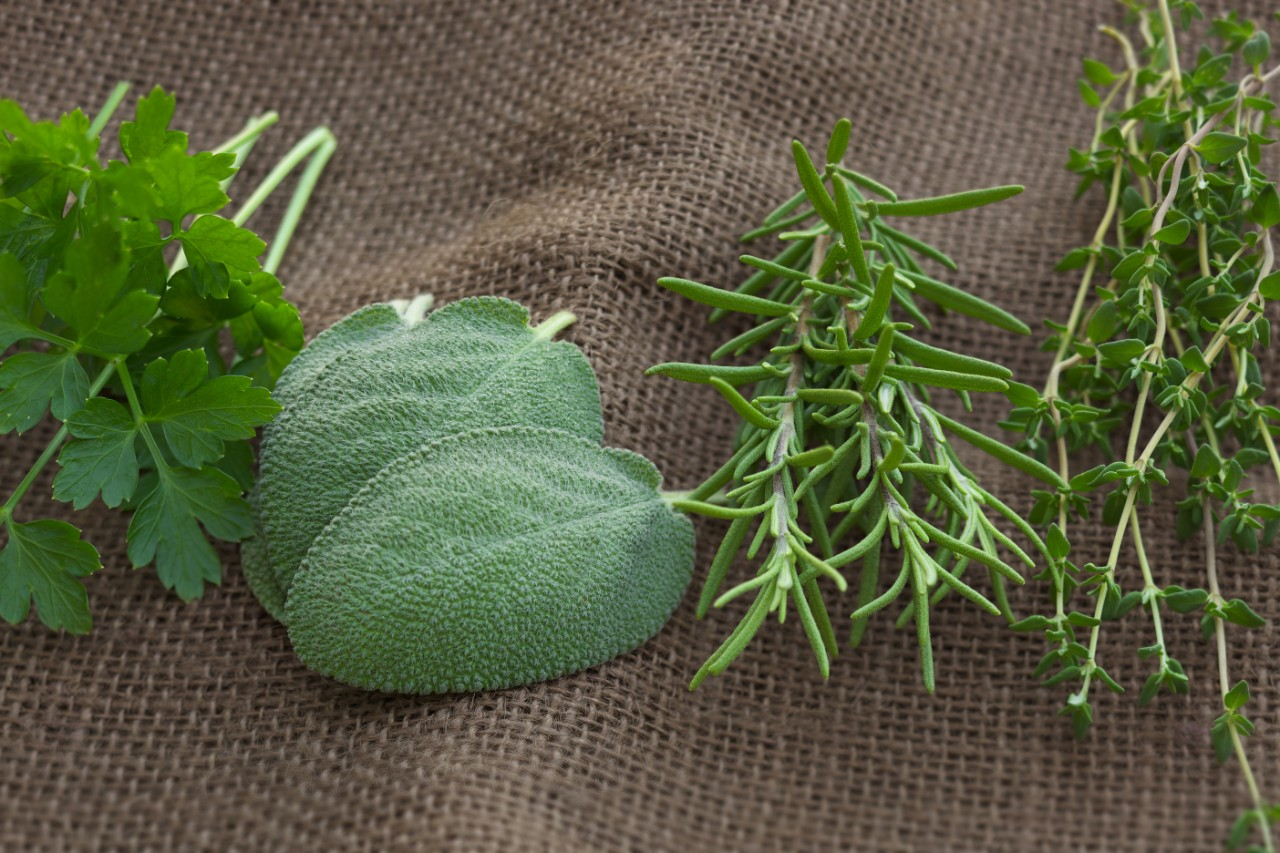 Natural light photo of parsley, sage, rosemary and thyme herbs on brown burlap. Arrangement is in the order of lyrics from a popular folk song.
